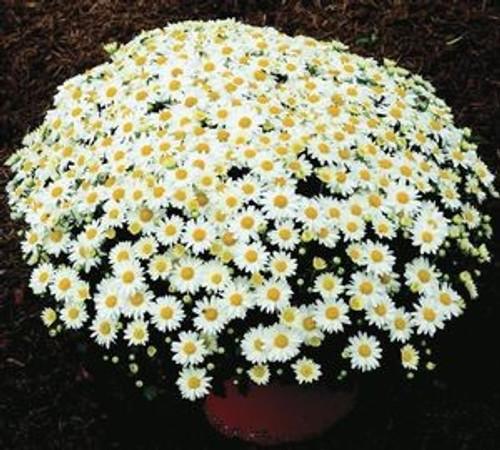 Garden Mum 'Vanna Snow' White