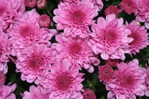 Garden Mum 'Wanda' Purple