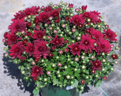 Garden Mum 'Wanda' Red
