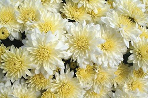 Garden Mum 'Wilma' White