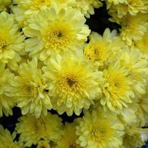 Garden Mum 'Wilma Yellow'