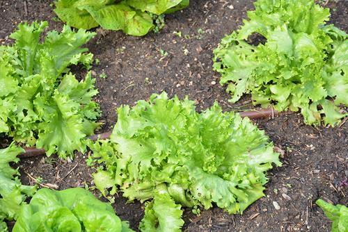 Lettuce Butterhead Mirlo