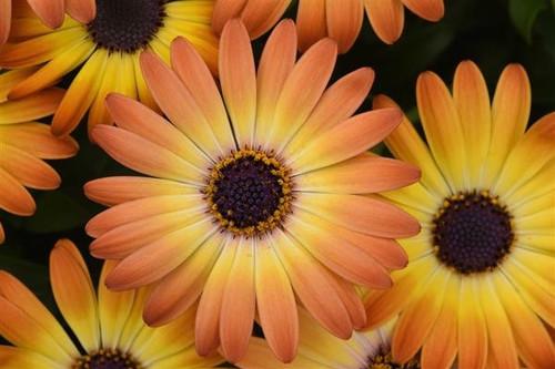 Sunshine Beauty African Daisy