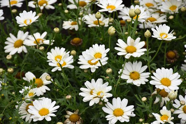 Argyranthemum - 4 inch