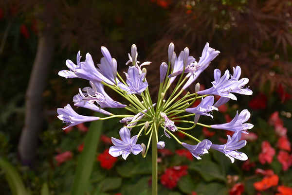Blue African Agapanthus
