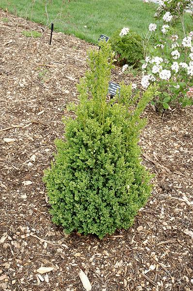 Green Mountain Boxwood