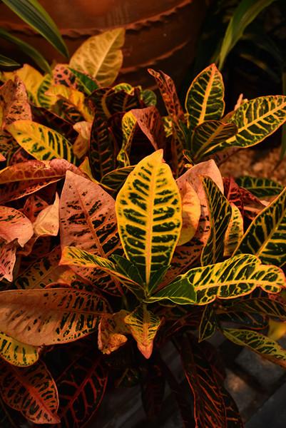 Petra Variegated Croton