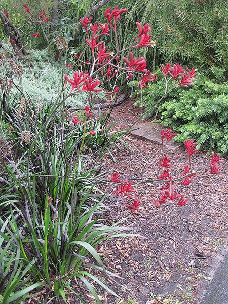 Big Red Kangaroo Paw