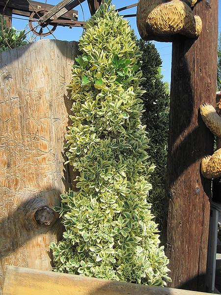 Gold Variegated Japanese Euonymus (topiary form)