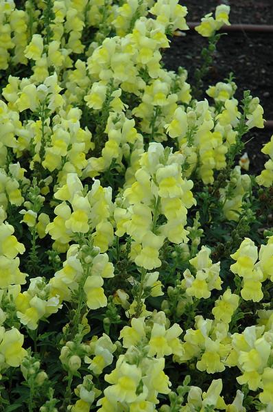 Speedy Sonnet Yellow Snapdragon