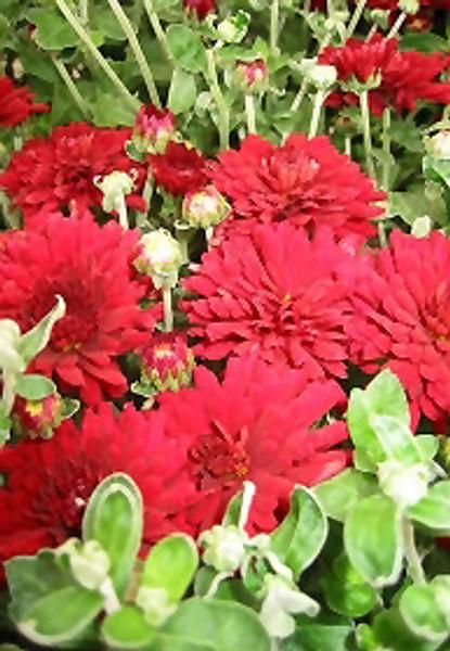 Garden Mum 'Brandi Burgundy' Red