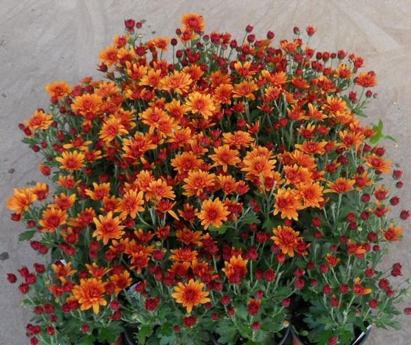 Garden Mum 'Miranda Orange'