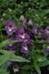 Archangel™ Purple Angelonia
