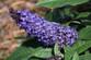 Pugster® Blue Butterfly Bush