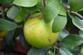 Oroblanco Grapefruit