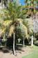 Palm Pygmy date
