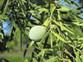 Fern Podocarpus