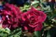 Burgundy Iceberg Rose