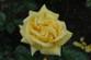 Oregold Rose