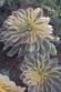 Sunburst Aeonium