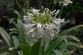 White African Lily