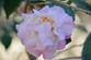 High Fragrance Camellia