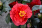 Blood Of China Camellia