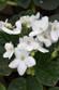 Saintpaulia African Violet - 4 Inch