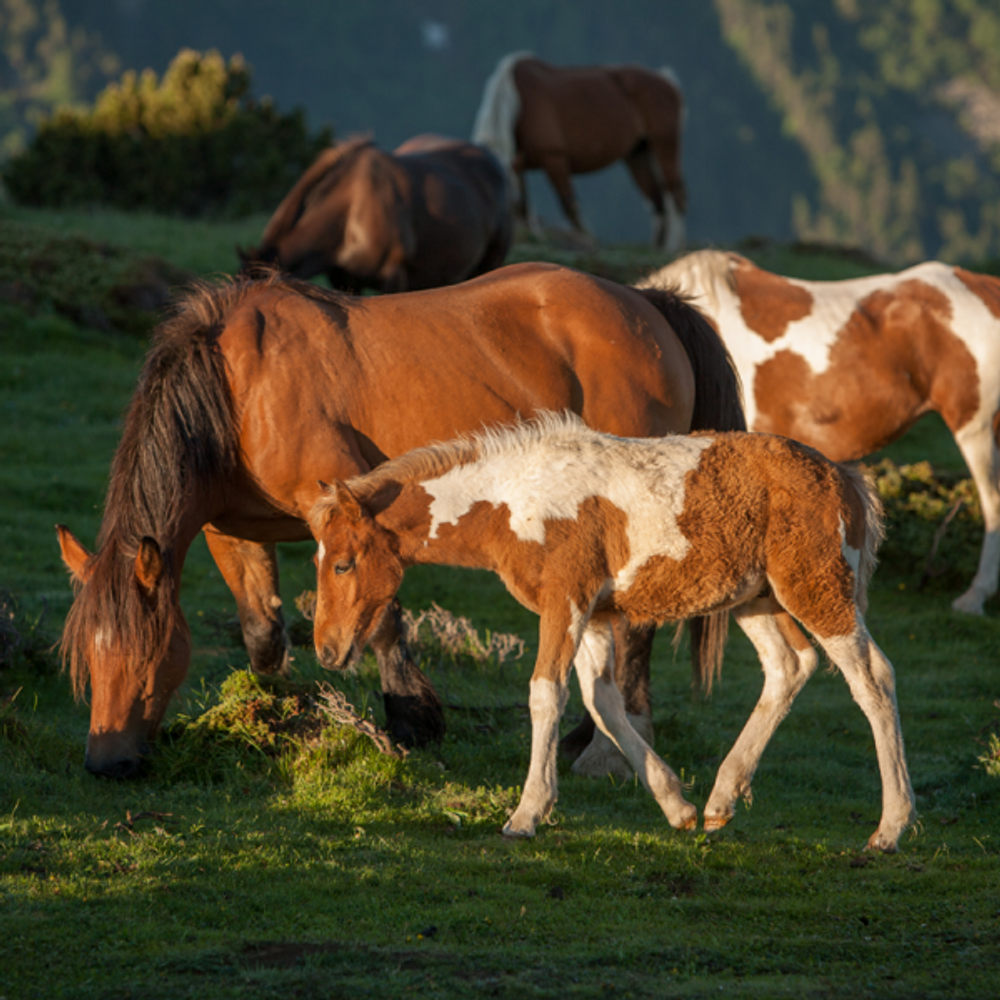 Horse Artisanal Wooden Jigsaw Puzzle | Foal in Mountain Sunrise | Zen Art & Design | ZADHORSEFIMS