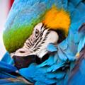 Blue Parrot Artisanal Wooden Jigsaw Puzzle | Zen Art & Design | ZADBLUEPARROT