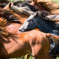 Horse Artisanal Wooden Jigsaw Puzzle | Herd of Young Horses | Zen Art & Design | ZADHORSEHOYH