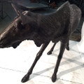 Female Moose Bronze Statue | Metropolitan Galleries | MGISRB10053-F -4