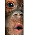 Big Face Baby Orangutan Stainless Steel 17oz Travel Mug | The Mountain | 5935871 | Orangutan Travel Mug