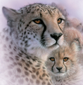 Cheetah Mother's Love Unisex Cotton T-Shirt   The Mountain   106435   Cheetah T-Shirt