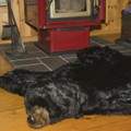 Black Bear Area Rug | Ditz Designs | DIT40240