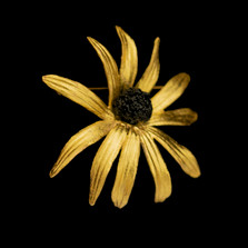 Black-Eyed Susan Statement Pin | Michael Michaud | 5992BZ | Nature Jewelry