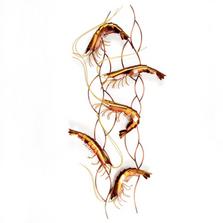 Dancing Shrimp Copper Wall Sculpture | TI Design | TICO111