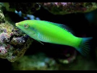 Lime Green Wrasse