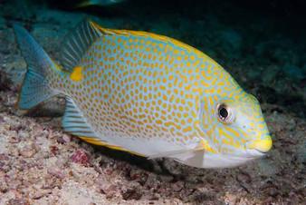 Golden-Lined Rabbitfish
