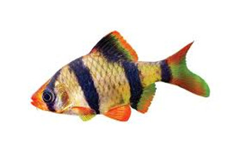 TIGER BARB - XL - 20 for $40
