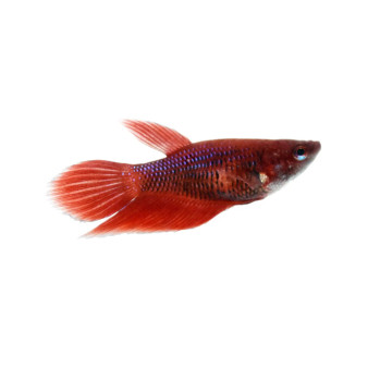 FEMALE BETTA - Nice Colour Mix - 10 for $50