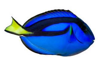 Blue Tang  M