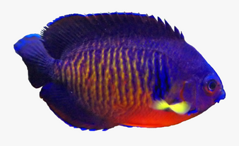 Coral Beauty Angelfish M