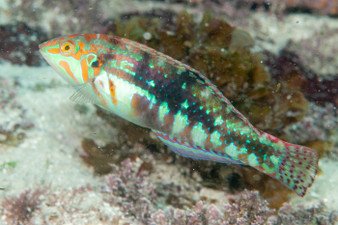 Green Marble Wrasse