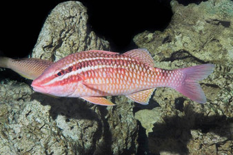 Red band Goat Fish 10cm