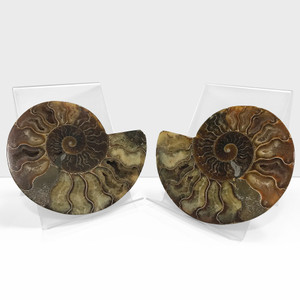 Polished Ammonite Shell Pair Fossil Stone Mineral