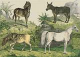Donkey, Zebra, Horse - Cross Stitch Chart