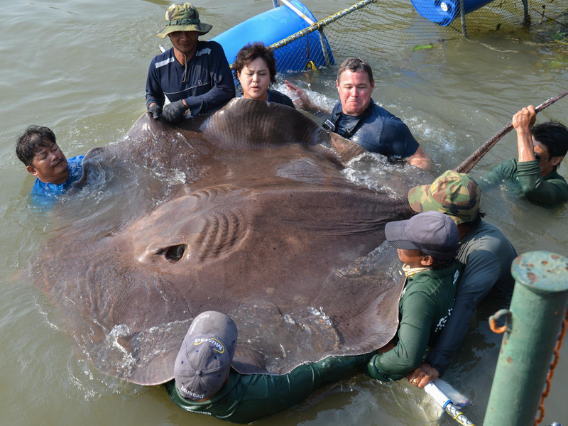 Largest Freshwater Fish Caught Is A…Stingray?