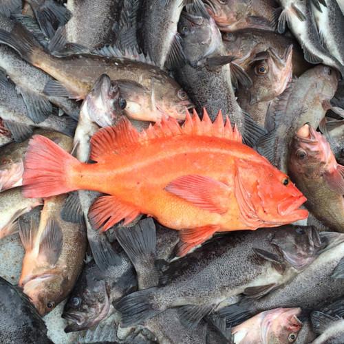 Yelloweye with mixed rockfish.