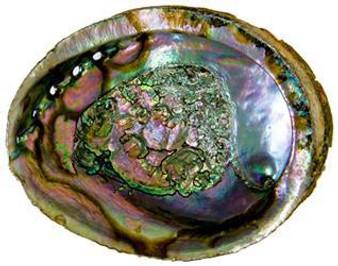"""Abalone Shell 5"""""""
